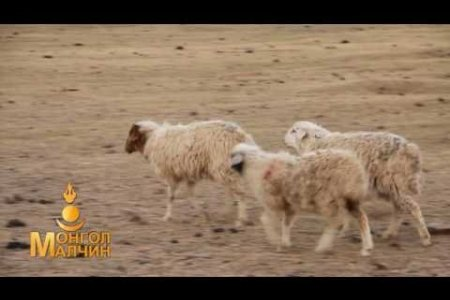 Fence for yak combing/Сарлаг самнах хашаа