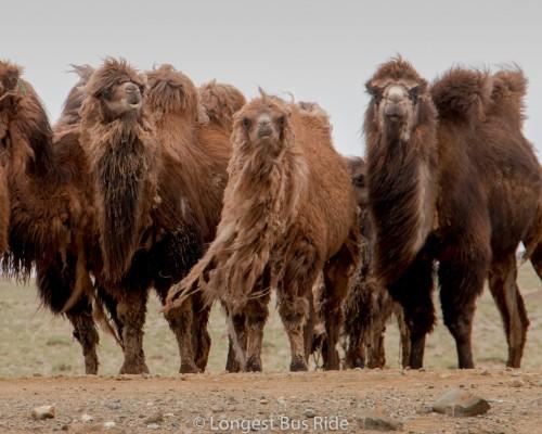 ラクダを放牧する人々と触れ合う旅(7日間)