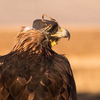 THE GOLDEN EAGLE Name of the WESTERN MONGOLIA