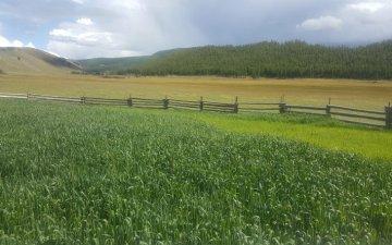 Өндөр-Улаан сумын Баянгол БАХ-ын малчид 2.5 га талбайд ногоон тэжээл тариалав