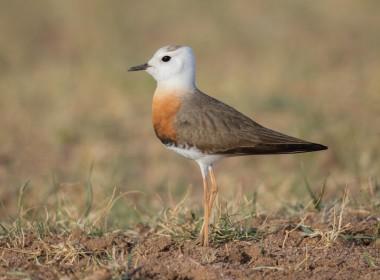 Mongolia Birding Tour