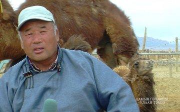 Ламын гэгээний улаан тэмээ/'Lamiin gegeenii ulaan' breed camel