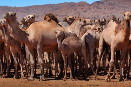 Австрали ундны ус хэмнэхийн тулд 10 мянган тэмээг буудаж, устгана