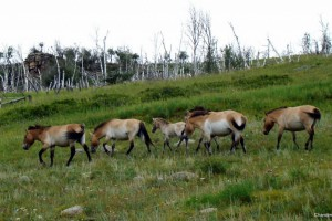2 days Mongolian Nomadic & Khustain Nuruu National park tour