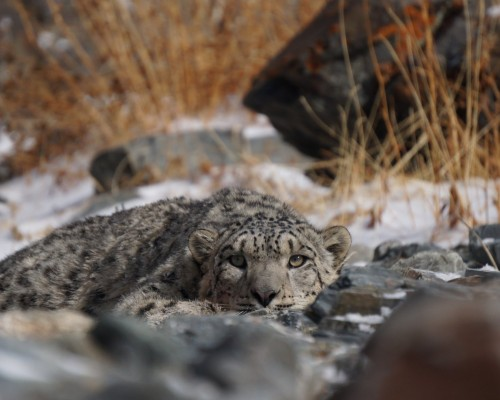 SNOW LEOPARD WATCHING TRIP