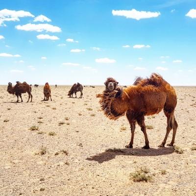 Wings over the Gobi desert -2