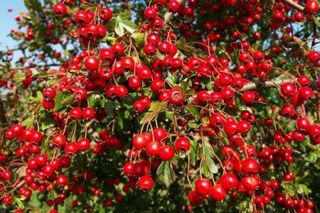 Жимс, жимсгэний сорт, селекци, үржүүлэгийн сургалт