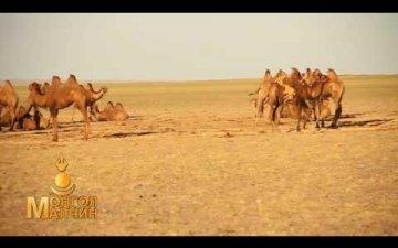 Camel wool preparation and quality improvement/Тэмээний ноосны бэлтгэл, чанарыг сайжруулах