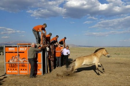 From Prague to Mongolia, wild horses return to the steppes