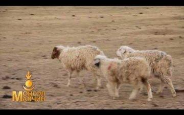 Сарлаг самнах хашаа/Fence for yak combing