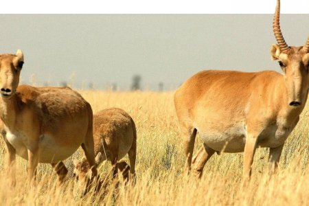 Saiga population on the rise