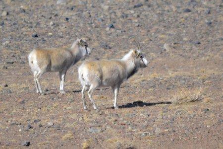Mongolian Saiga Antelope population reached 5000