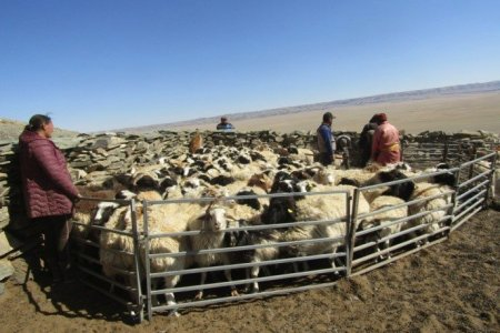 """Improving livestock quality and protecting genetic resources """"sub-project is being implemented in three aimags"""