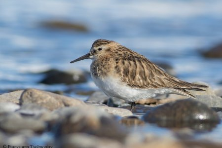 A first record of Baird's Sandpiper for Mongolia
