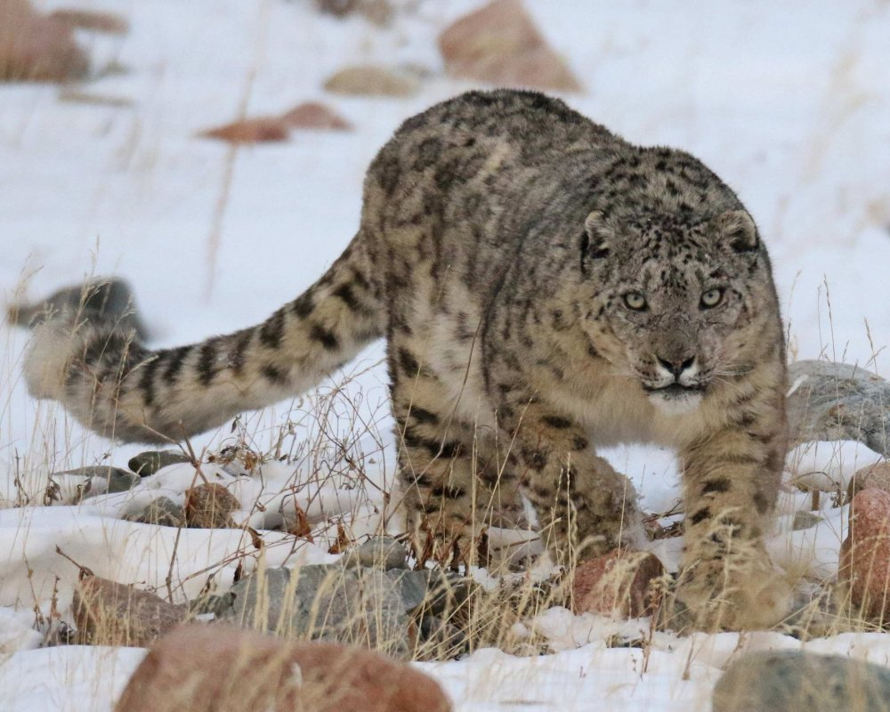 Snow Leopard Photography Tour went successful