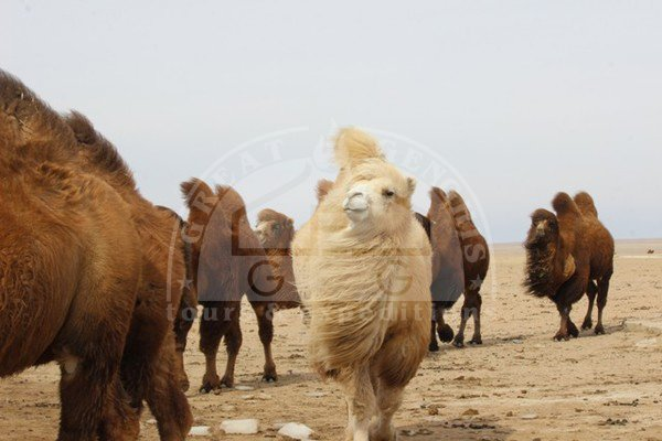 Researchers explore opportunity to export camel milk to China