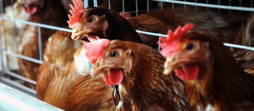 """""""Түмэн шувуут"""" халал аргаар бэлтгэсэн мах экспортолно"""