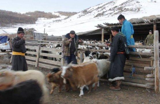 Монголын мал 70 саяд хүрчээ