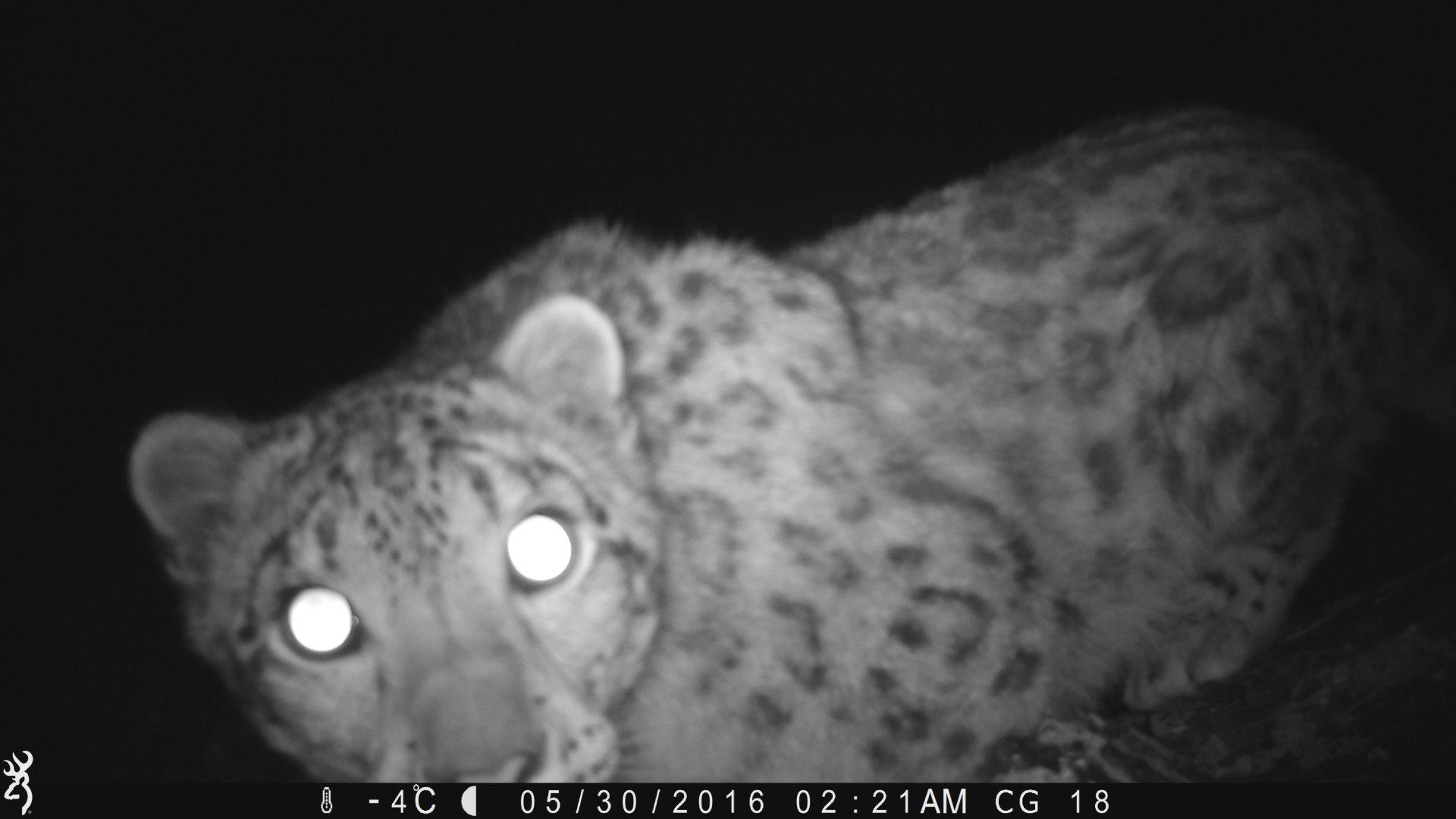 Check out our snow leopard tour