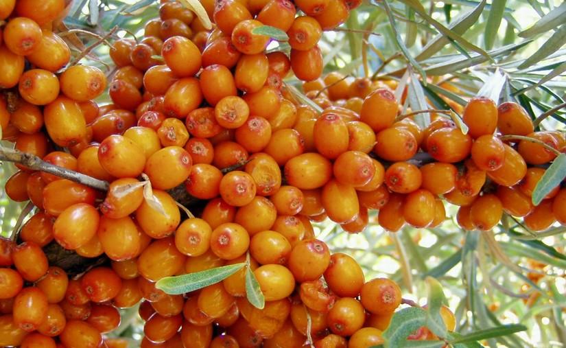 Чацаргана бусад жимс, жимсгэнэ тариалахыг сонирхогчдод зориулсан сургалт