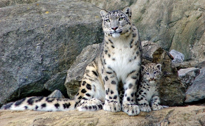 Endangered snow leopard spotted near herder settlement in Western Mongolia