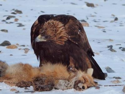 Golden eagle with it's prey