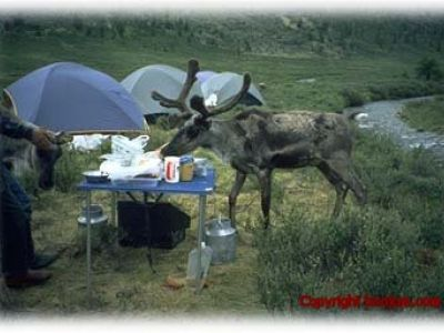 Everyone is welcome at lunch, including reindeer