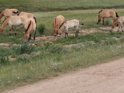 The Prezewalski horse