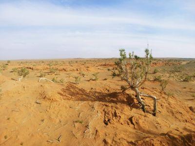 The Gobi Tree