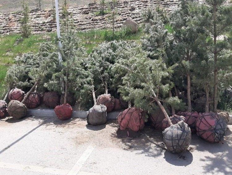 Зөвшөөрөлгүй 400 ширхэг зулзаган нарс мод бэлтгэн, худалдахыг завджээ