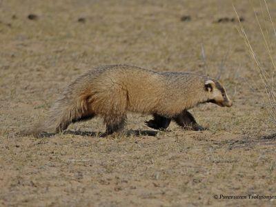 Eurasian Badger