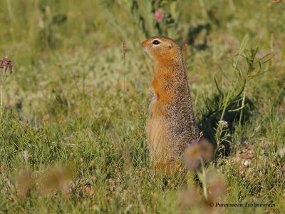Long-tailed Ground Squirrel