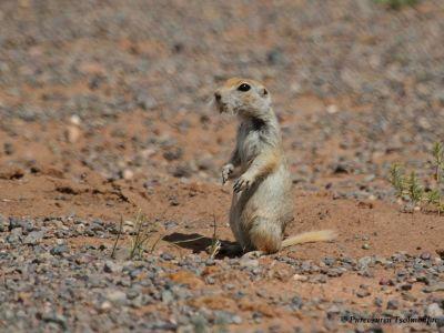 Red-cheeked Ground Squirrel