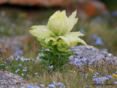 Snow Lotus - Vansemberuu