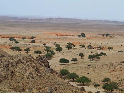 Elm trees in the Gobi Desert