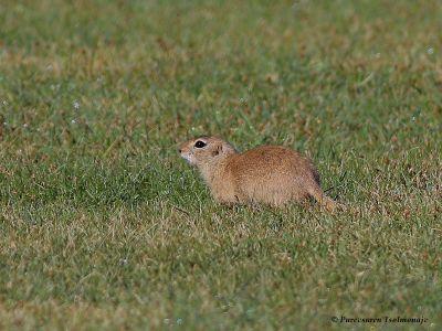 Alashan Ground Squirrel