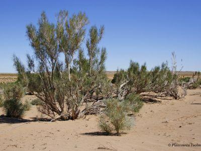 Saxaul Forest in the Gobi Desert