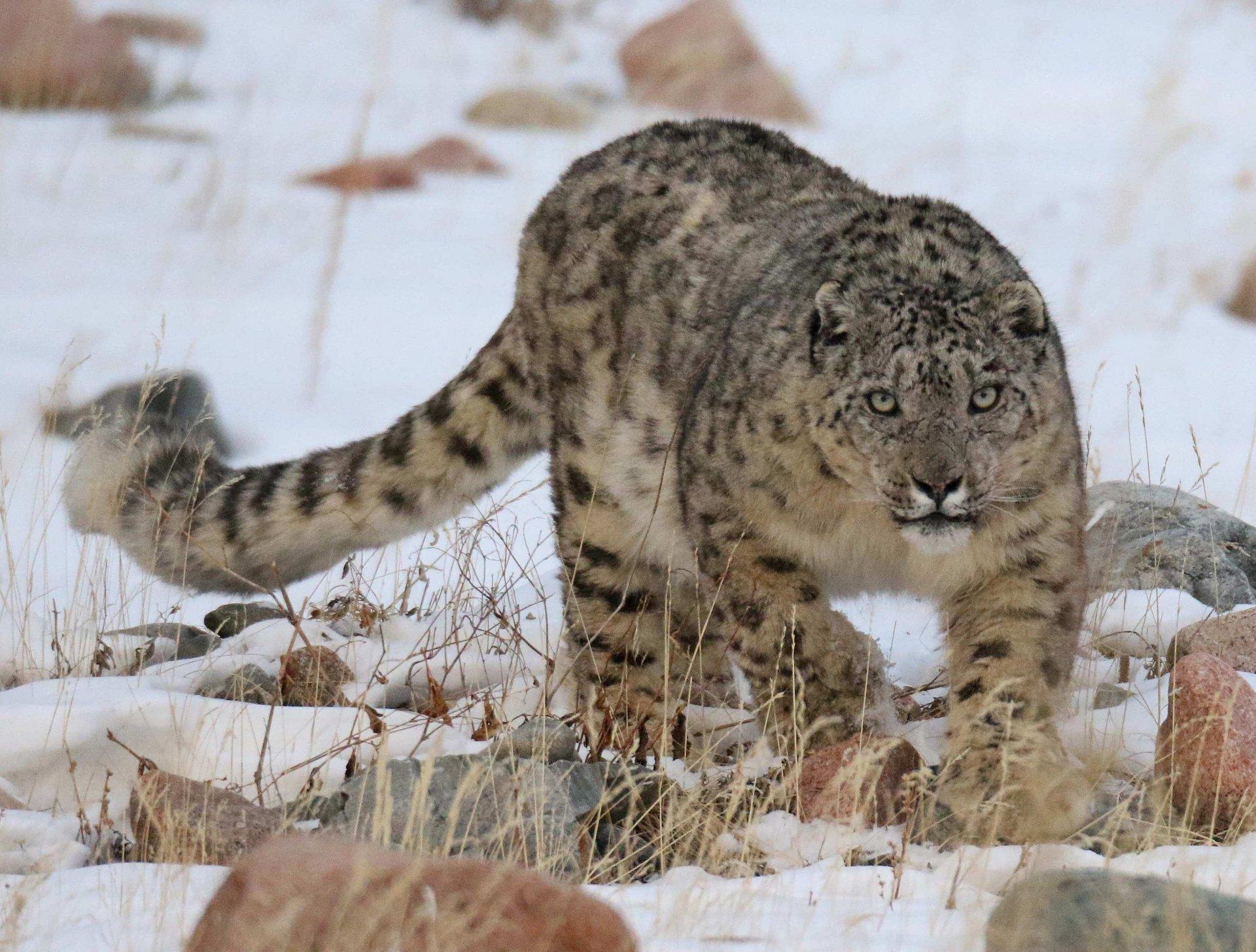 Snow Leopard Photography Tour went successful