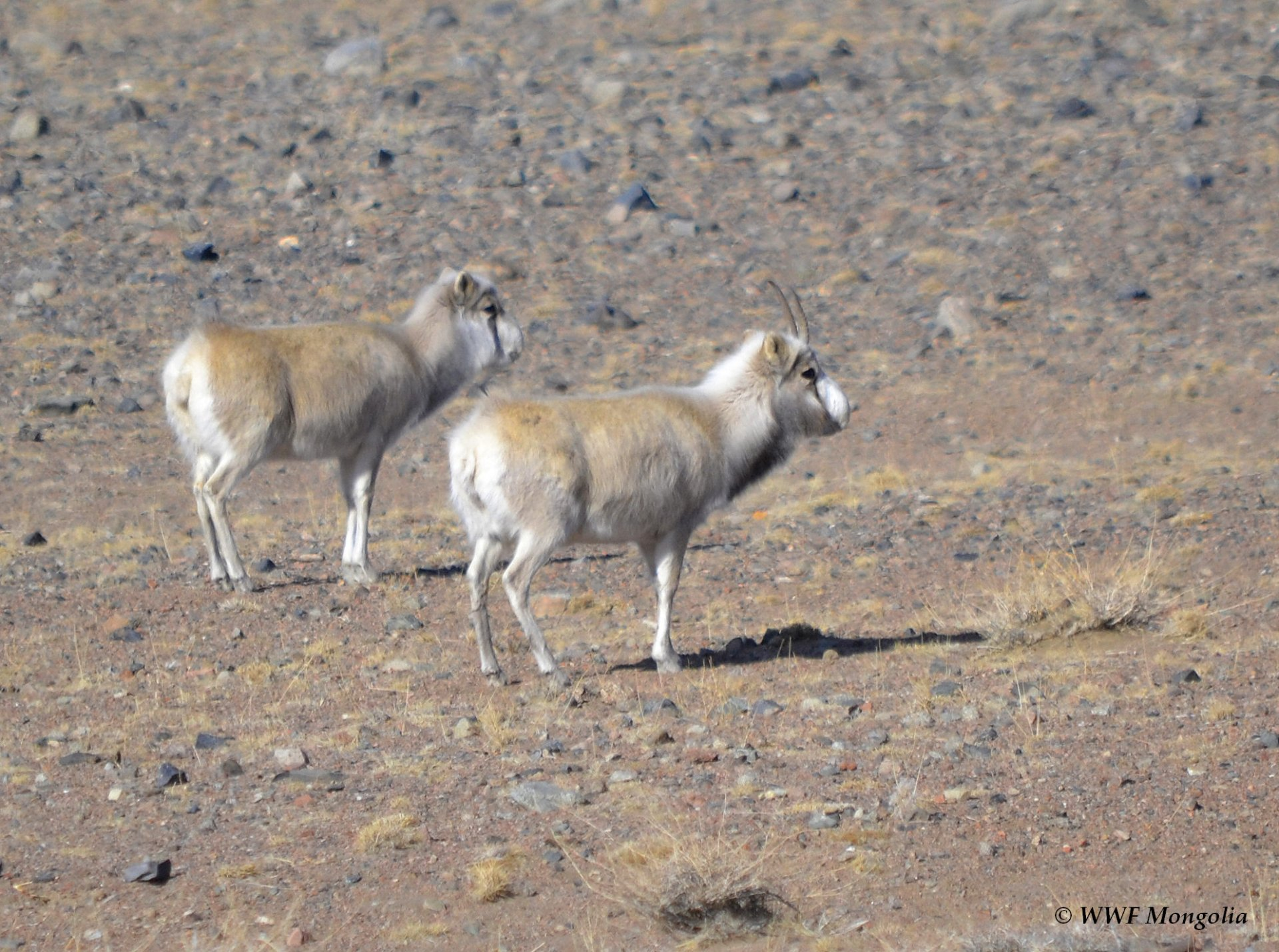 Mongolian Saiga Antelope population reached 5000