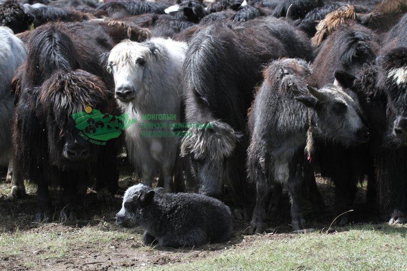 Н.Ёндонсамбуу: Байгальд хамгийн ээлтэй амьдардаг амьтан бол САРЛАГ